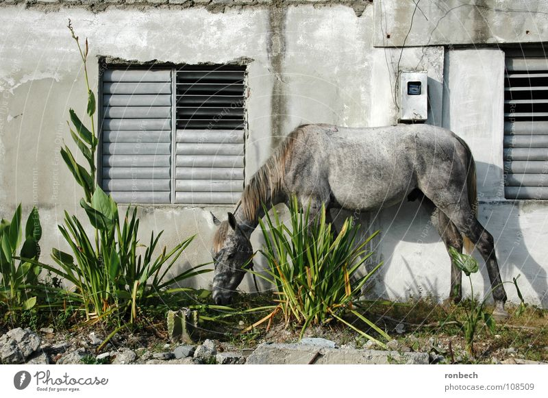 Pferd auf dem Flur alt ruhig Tier Wand Fenster Garten grau Mauer Arme kaputt einfach Kuba Schönes Wetter Fressen Säugetier
