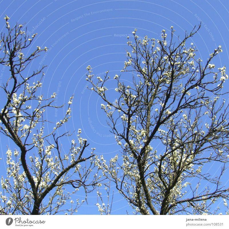 komm bald wieder... Himmel weiß blau Blüte Frühling Europa Sauberkeit rein Ast Zweig Geäst Apfelblüte Mandelblüte