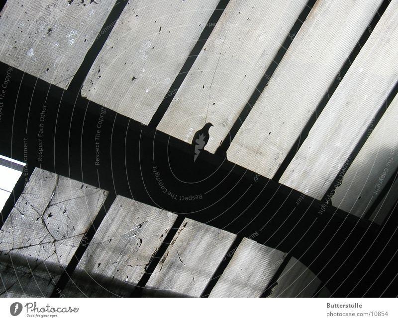 Taube in Grau grau trist