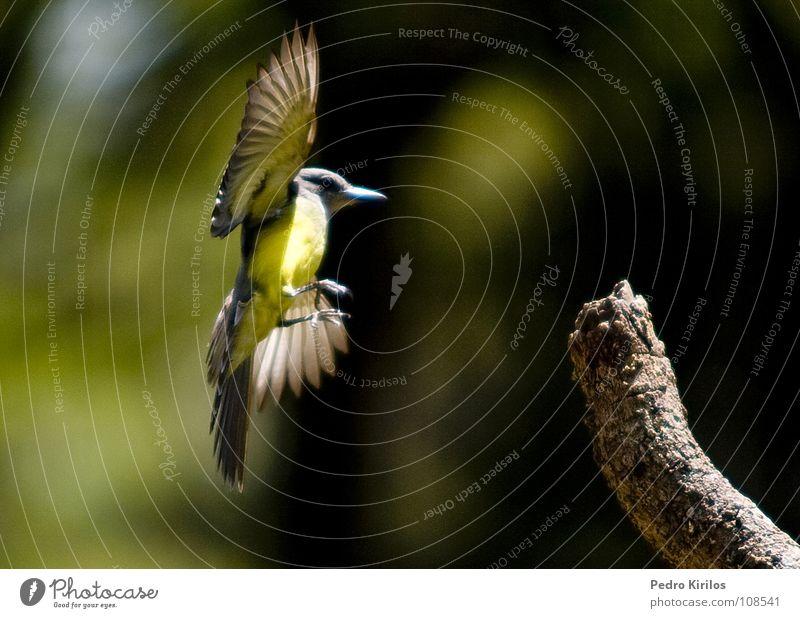 just came on Belo Horizonte Zoo Vogel pedrokirilos bemtevi sol fly fast 30d