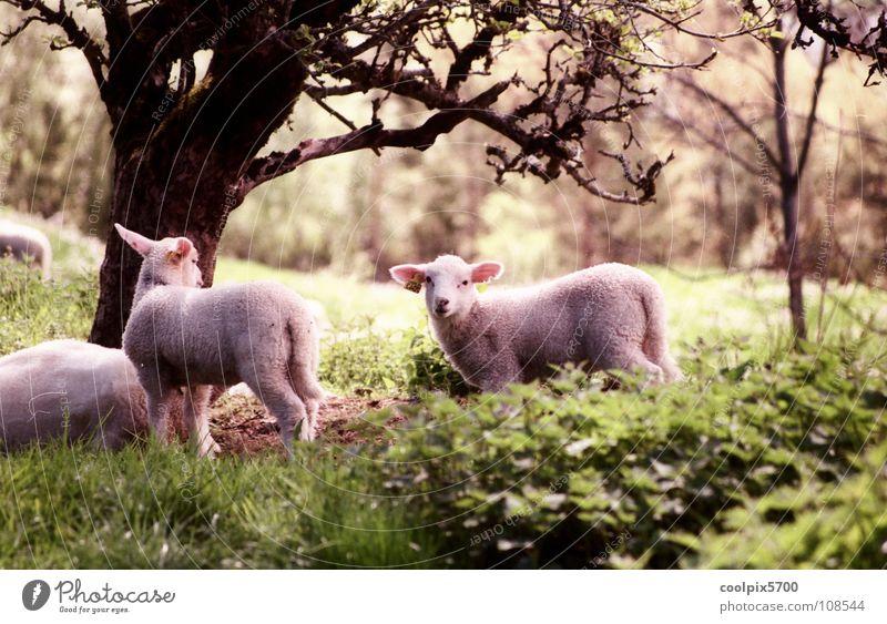 Der gute Hirte Norwegen Schaf Baum Wald Wiese Feld Schafherde Lamm Einsamkeit Frieden Säugetier Weide Natur