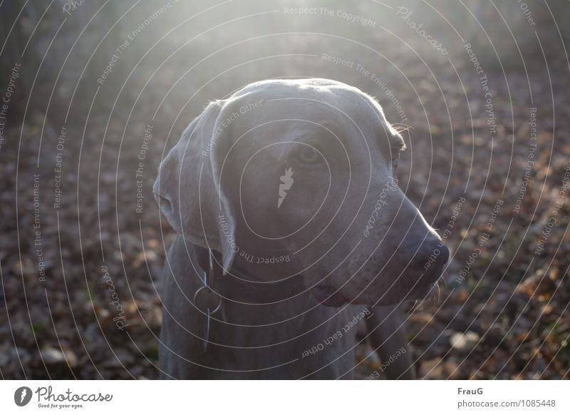 Gegenlicht(Hunde-)mädchen Auge Nase Sonne Blatt Wald kurzhaarig Tier Haustier Jagdhund Weimaraner 1 Blick stehen Wachsamkeit Farbfoto Außenaufnahme