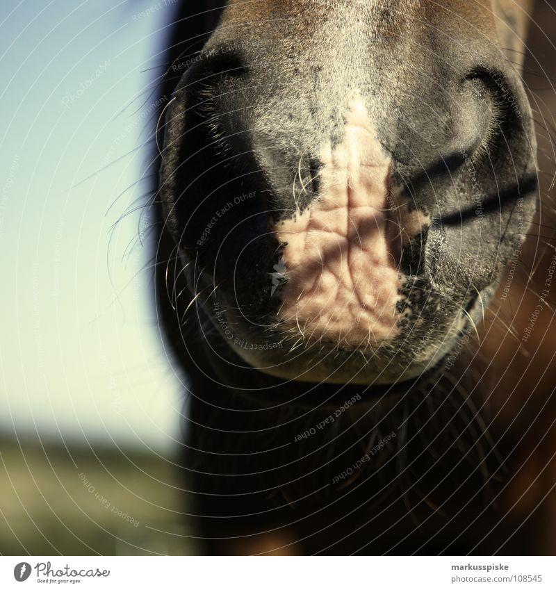 mächtige nasenlöcher Tier Pferd Weide Ausritt Schnauze Nasenloch Mähne Säugetier Teile u. Stücke Maul Schatten Haare & Frisuren