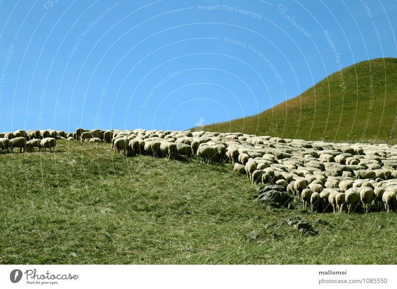 grafisch angeordnete Schafherde Umwelt Natur Landschaft Pflanze graphisch Tier Feld Hügel Berge u. Gebirge Alm Nutztier Tiergruppe hüten Ordnung