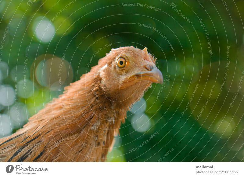 Junges Huhn blickt in die Kamera Tier Haustier Nutztier Tiergesicht Haushuhn 1 Beginn ästhetisch chicca Auge Federvieh Tierzucht Neugier Fragen zutraulich