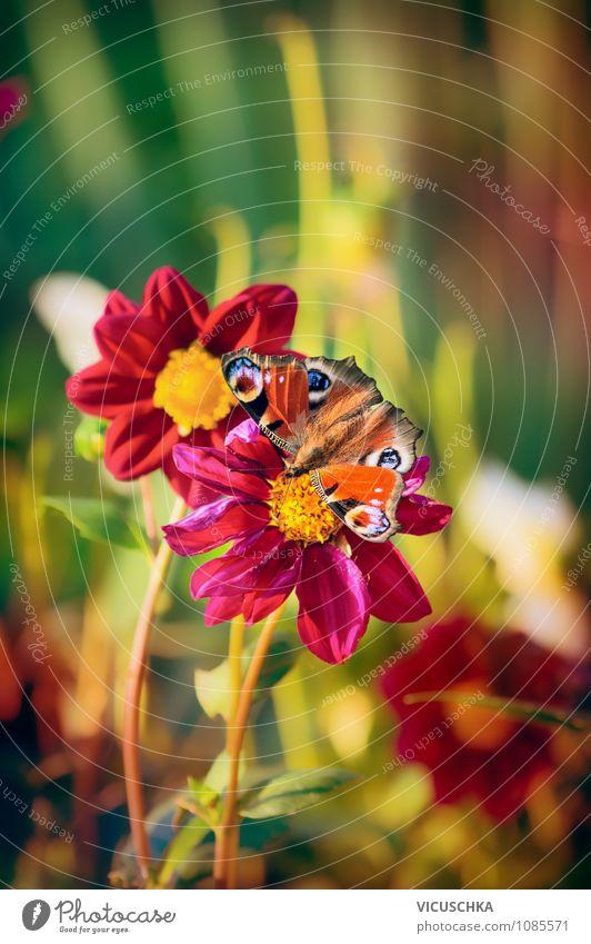 Schmetterling auf rotem Dahlia Blumen Natur Pflanze grün Sommer Tier gelb Herbst Wiese Frühling Garten rosa Lifestyle Park Design