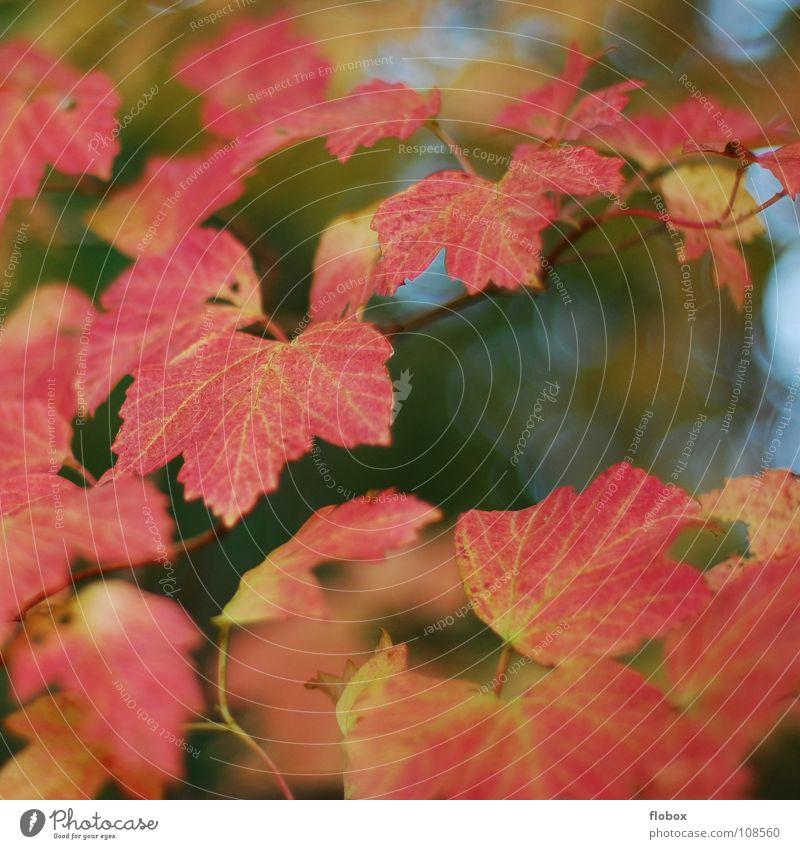 Einfach nur ROT Blatt Herbst Jahreszeiten rot grün gelb schön Physik Umwelt Herz-/Kreislauf-System Natur mehrfarbig Baum Außenaufnahme Vergänglichkeit ruhig