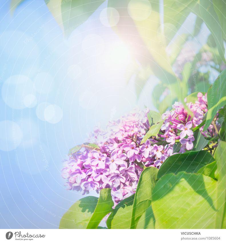Lila Flieder im Sonnenschein Himmel Natur Pflanze Sommer Sonne Blume Freude Blüte Frühling Stil Hintergrundbild Glück Garten Lifestyle Park Design