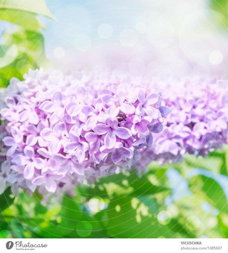 Blühenden Flieder Natur Pflanze blau Himmel (Jenseits) grün Farbe Sommer Blume Blatt Frühling Hintergrundbild Lifestyle Garten Design Sträucher