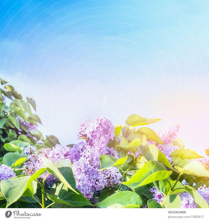 Flieder Blütezeit Lifestyle Stil Design Sommer Garten Natur Pflanze Himmel Wolkenloser Himmel Frühling Schönes Wetter Baum Blume Park rosa Hintergrundbild