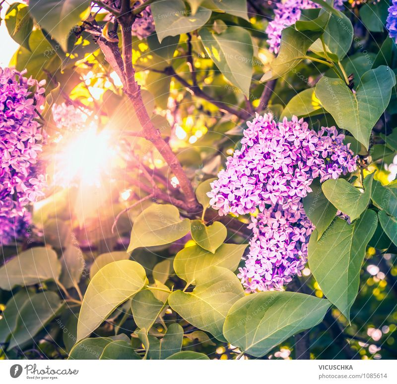 Flieder Blumen in Abendsonne Lifestyle Design Freizeit & Hobby Sommer Garten Natur Pflanze Sonne Sonnenfinsternis Sonnenaufgang Sonnenuntergang Sonnenlicht