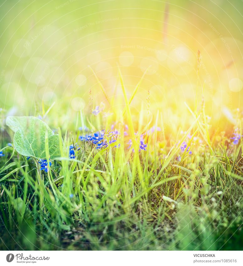 Wilde Vergissmeinnicht Blumen in Gras Natur Pflanze Sommer ruhig Leben Herbst Wiese Frühling Hintergrundbild Garten Lifestyle Park Feld Design