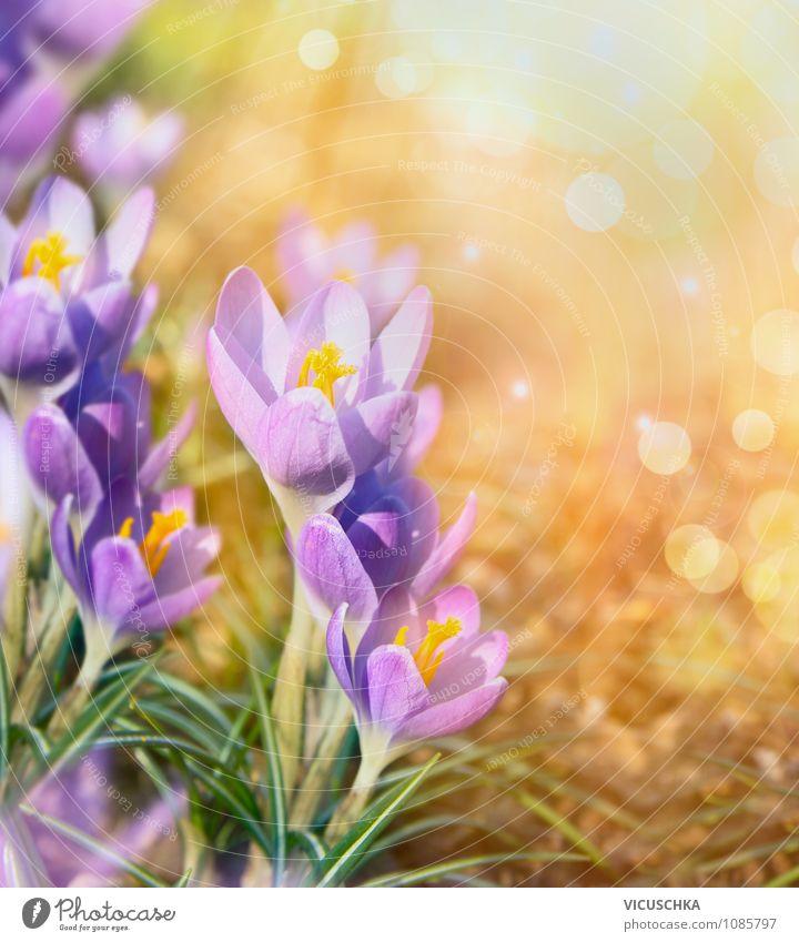 Krokus Blumen auf sonnigem Natur Hintergrund Design Sommer Garten Pflanze Sonnenaufgang Sonnenuntergang Sonnenlicht Frühling Schönes Wetter Park Hintergrundbild