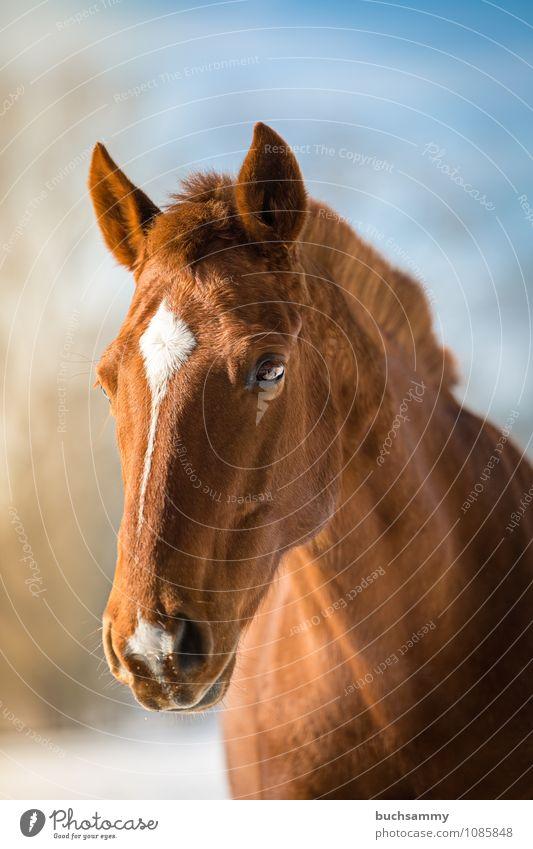 Traum Pferd Tier Nutztier 1 blau braun weiß Auge Blesse Kopf Mähne Reittier Sonnenschein Säugetier Fuchs reiten Farbfoto Außenaufnahme Nahaufnahme