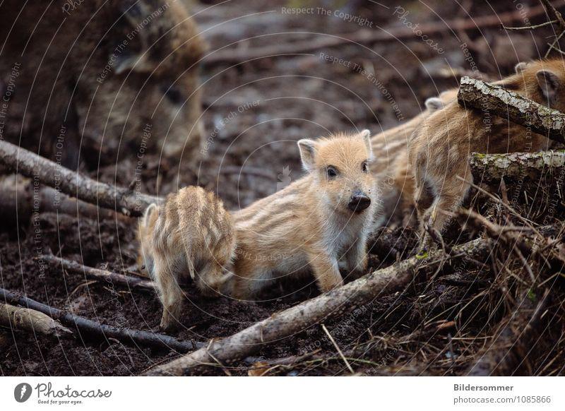 Sauhaufen Natur Tier Erde Wald Wildtier Wildschwein Frischling 4 Tiergruppe Tierjunges Tierfamilie entdecken rennen Wachstum Neugier niedlich wild Lebensfreude