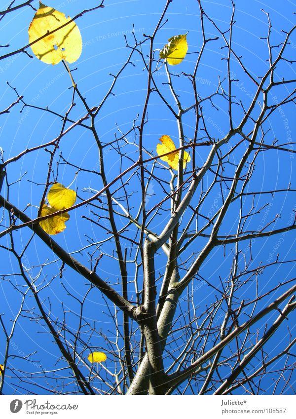 Dann warn es nur noch 6... Himmel Baum blau Blatt gelb Herbst Wind fallen Ast Baumstamm wenige ursprünglich