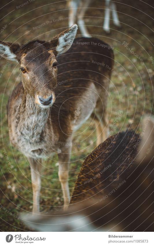 . Natur grün Tier Wald Umwelt braun Idylle Wildtier beobachten Tiergruppe Neugier Vertrauen Wachsamkeit füttern Schüchternheit Reh