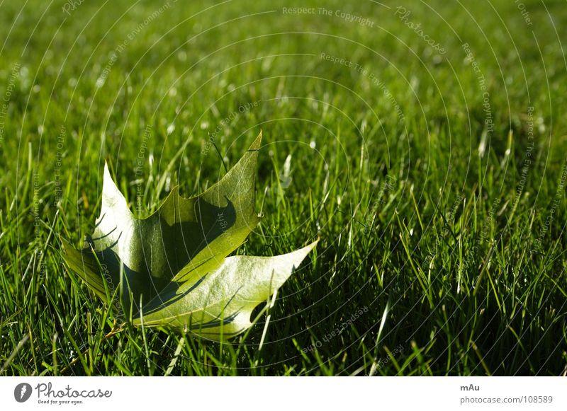 Der Anfang vom Ende Baum Freude Blatt Erholung Herbst Wiese Spielen Gras Park Kraft frisch Rasen saftig Ahorn