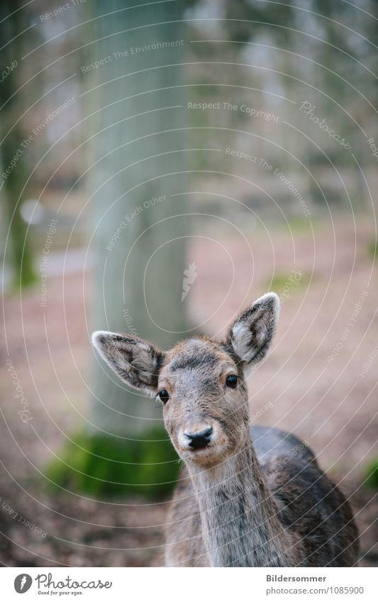 . Umwelt Natur Tier Baum Wald Wildtier Zoo Reh Waldtier 1 beobachten Jagd Blick nah Neugier braun grau grün Frühlingsgefühle Vertrauen Schutz Tierliebe
