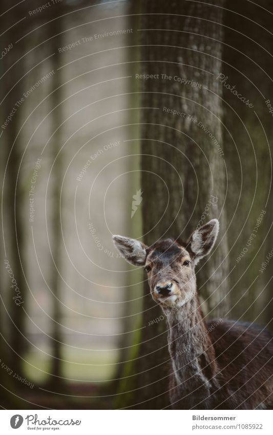 fragt sich, wer hier neugieriger war :) Baum Wald Tier Wildtier Zoo Reh Waldtier Bleßwild 1 beobachten entdecken Blick stehen Freundlichkeit Neugier niedlich