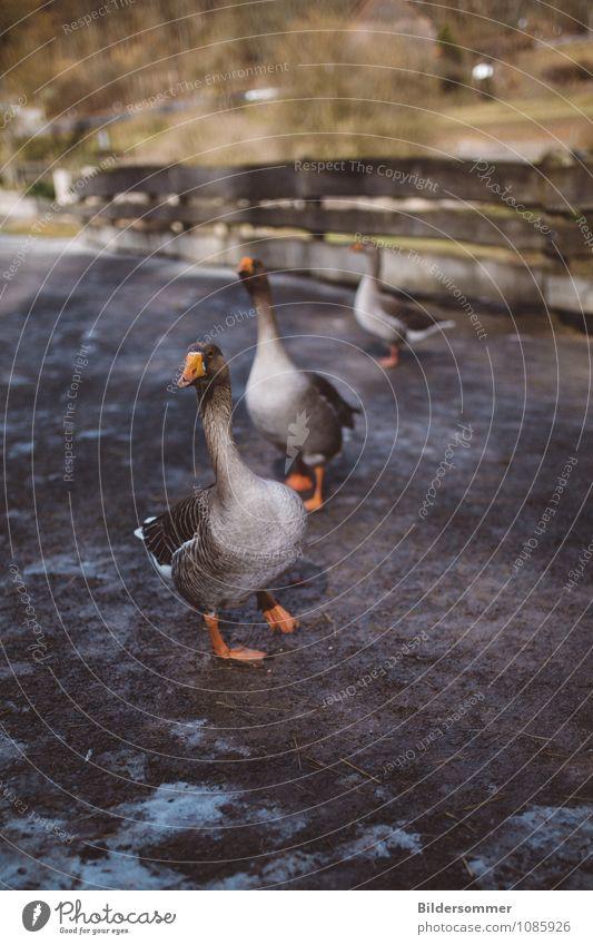 . grün Tier grau braun Vogel orange stehen laufen beobachten Tiergruppe Neugier Zaun Dorf Bauernhof Bioprodukte Haustier