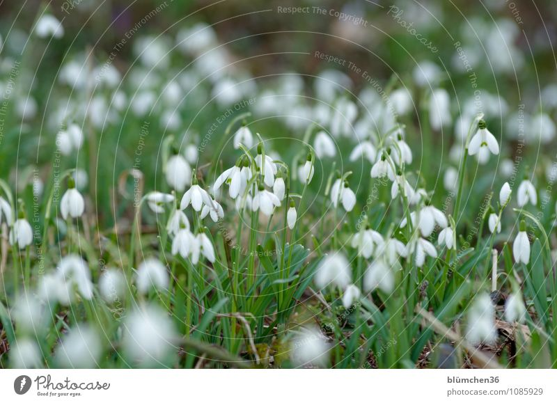 Gemeinsam blüht es sich besser! Natur Pflanze Frühling Blume Blüte Schneeglöckchen Amaryllisgewächse Giftpflanze Alkaloid Garten Wiese Blühend stehen Wachstum