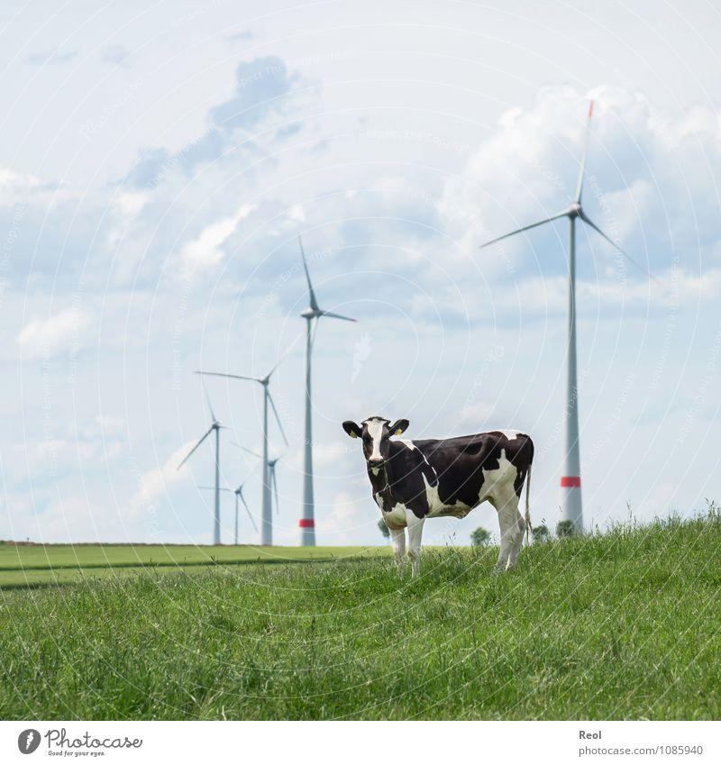 Methan vs Grüne Energie Natur Wolken Sommer Gras Wiese Feld Windkraftanlage Windrad Rotor Tier Nutztier Kuh Rind Viehzucht Viehweide 1 grün nachhaltig