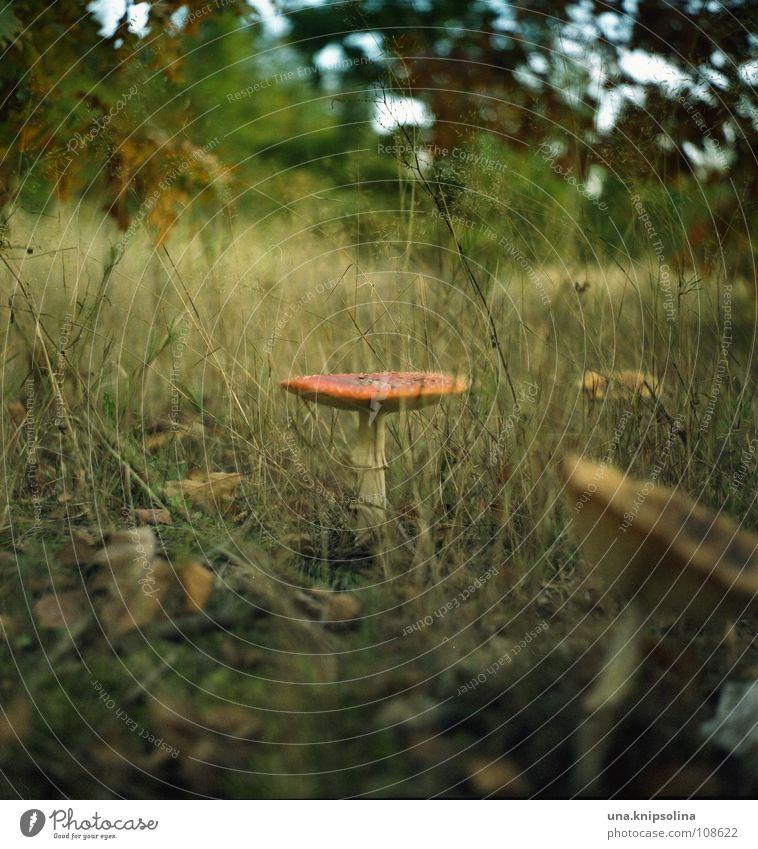 abenteuer im zauberwald Wald Wiese Herbst Gras stehen Punkt Regenschirm Herbstlaub Pilz Märchen Märchenwald Fliegenpilz Herbstwald Baseballmütze Zauberwald