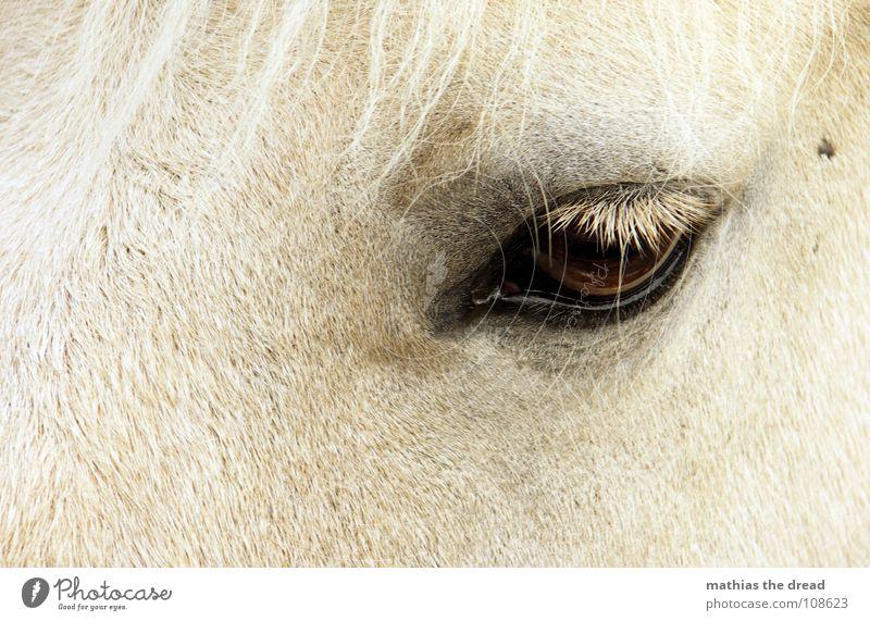 Treuer Pferdeblick II Wimpern dunkel groß Trauer Säugetier Fell Vertrauen Blick Augenschlag nah Traurigkeit Huftier Landtier Haare & Frisuren hell