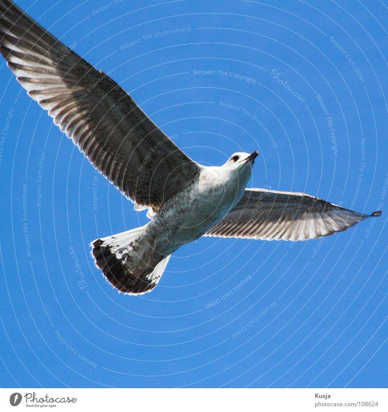 Schwebend blau weiß schwarz Vogel fliegen laufen Flügel fahren Jagd Segeln Möwe Kurve wehen ziehen Türkei