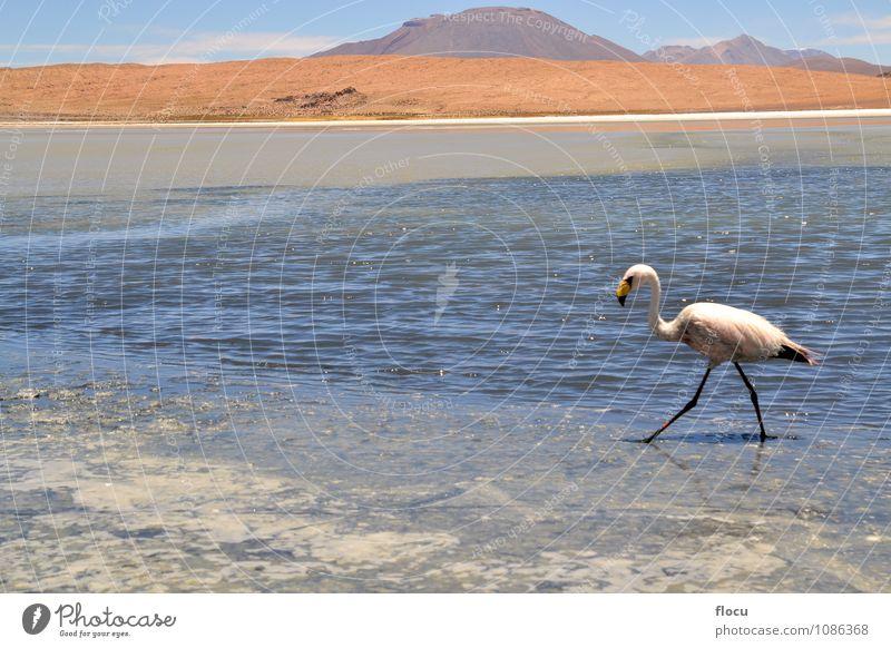 Flamingos am See in den Anden, dem südlichen Teil Boliviens. exotisch Ferien & Urlaub & Reisen Safari Berge u. Gebirge Natur Tier Wolken Park Vogel Stein wild