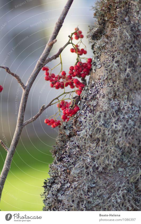Kleiner Lichtblick Natur Pflanze Himmel Sonne Baum Baumflechte Vogelbeeren Park Hügel Holz ästhetisch Freundlichkeit grau grün rot Dekoration & Verzierung