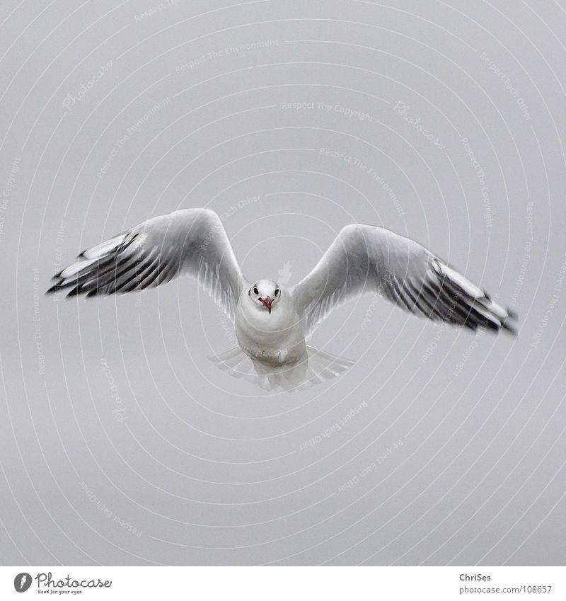 Frontal : Silberkopfmöwe ( Larus novaehollandia ) Möwe Vogel Tier weiß grau schwarz Wolken Federvieh See Meer Cuxhaven Herbst Himmel Silver Gull grau in grau