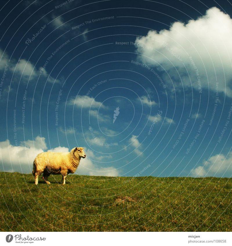 unnu? Schaf Tier Vieh Wolle Wollknäuel Bauernhof gelb grün Wiese Wolken einzeln Einsamkeit Horizont Deich Gras mäh Bekleidung Gelbstich Nutztier nützlich
