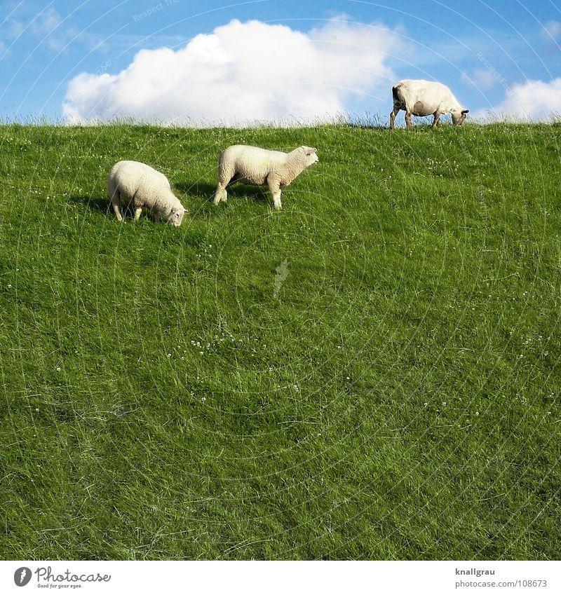Schaf sein... Tier Vieh Wolle Wollknäuel Pullover grün Wiese Feld Wolken Ziegen Fressen ruhig Deich Küste Sommer Bekleidung Lamm Schafswolle stricken Rasenmäher