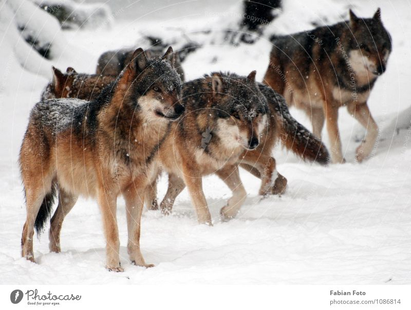 Wölfe Tier Winter Schnee stehen ästhetisch beobachten bedrohlich Jagd Zoo Rudel