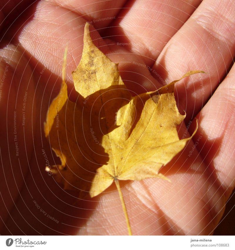 Herbstgrüße Blatt gelb mehrfarbig Baum Ahorn Hand Lichteinfall Sonnenstrahlen klein Herbstfärbung Frieden herbstlich Schatz Schatten