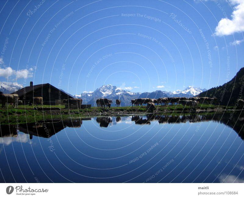 alpenidylle Gebirgssee See Kuh Reflexion & Spiegelung Berge u. Gebirge Alm Idylle