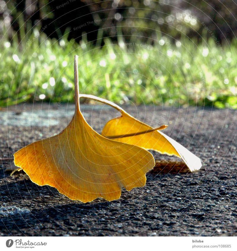 Liebe und Ginkgo... Baum Blatt gelb Herbst gold paarweise Bodenbelag Herbstfärbung Nadelbaum Laubbaum