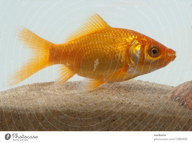 Goldfisch, Carassius gibelio, Suesswasserfisch Natur weiß Wasser rot Tier Hintergrundbild frei Objektfotografie neutral Karpfen Zierfische