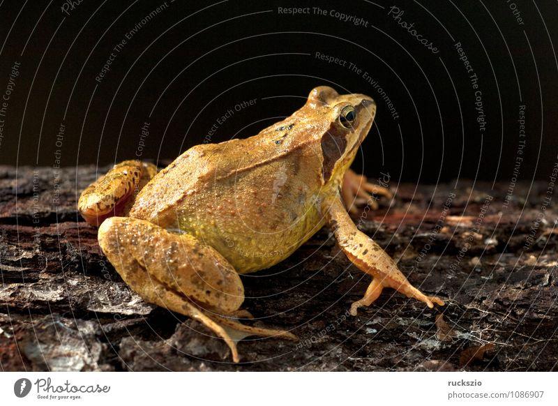 Grasfrosch, Rana temporaria, Natur Tier schwarz authentisch frei Stillleben Frosch Schlag Objektfotografie Lurch Froschlurche neutral freilassen Laich