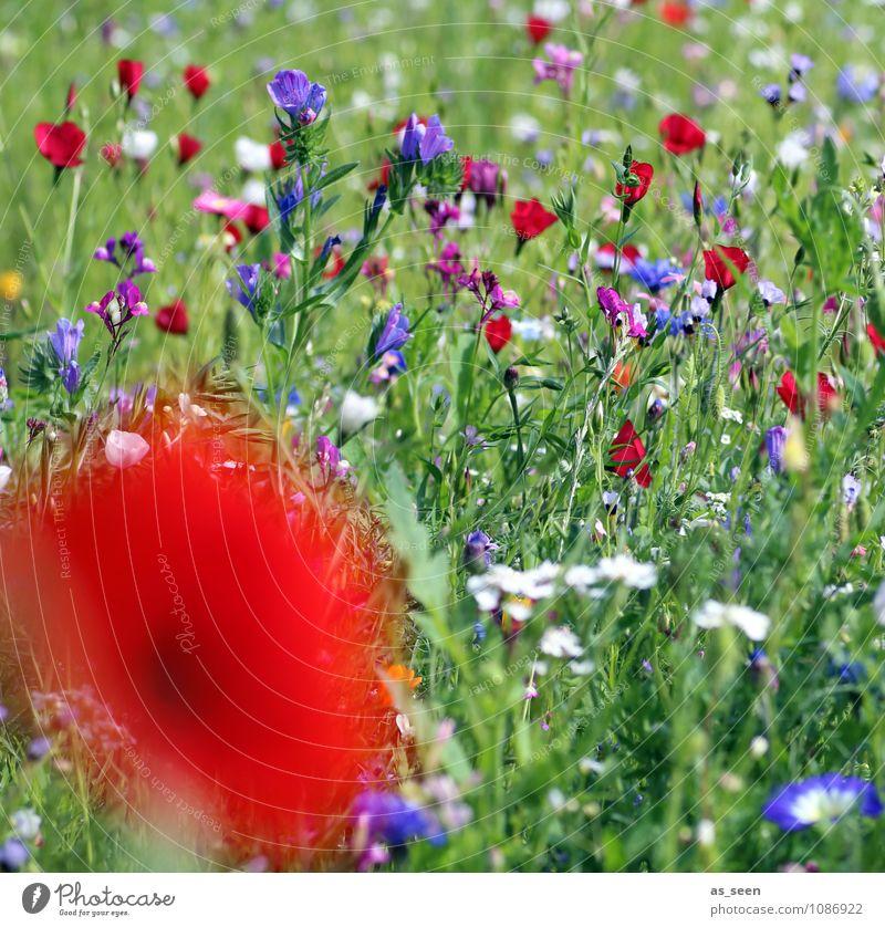 Sommerwiese Natur Ferien & Urlaub & Reisen blau Pflanze grün Farbe Blume rot Blüte Wiese Gras Design leuchten ästhetisch Blühend
