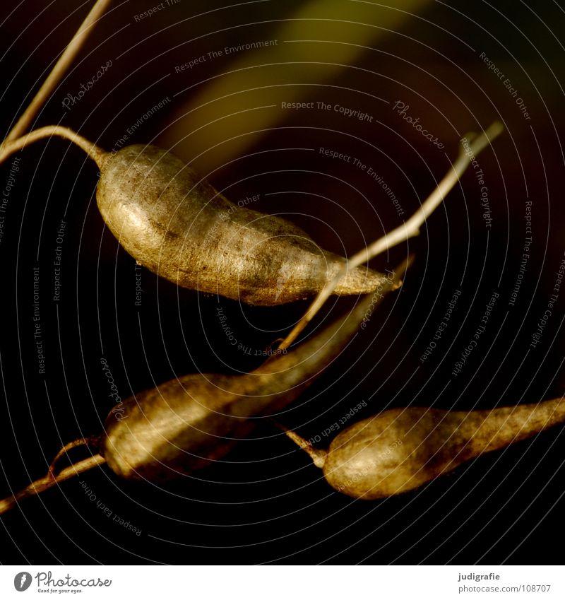 Wiese trocken Pflanze Herbst Sommer Kräuter & Gewürze Schote schwarz Umwelt Botanik pflanzlich welk Naturphänomene Trauer Stimmung dunkel grau trist
