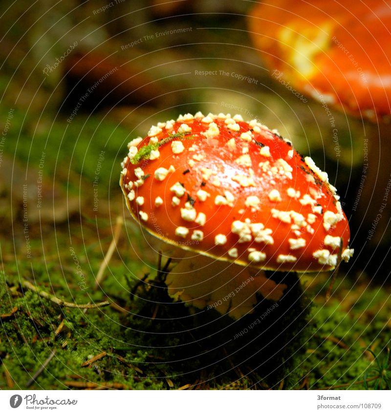 fliegenpilz01 grün rot Einsamkeit dunkel kalt Herbst Gras träumen glänzend gefährlich Bodenbelag einzeln Punkt Kitsch fantastisch Regenschirm