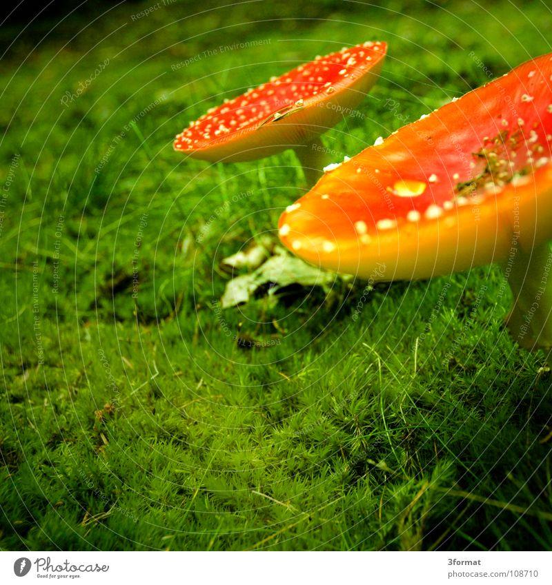 fliegenpilz02 grün rot Einsamkeit dunkel kalt Herbst Gras träumen glänzend gefährlich Bodenbelag einzeln Punkt Kitsch fantastisch Regenschirm