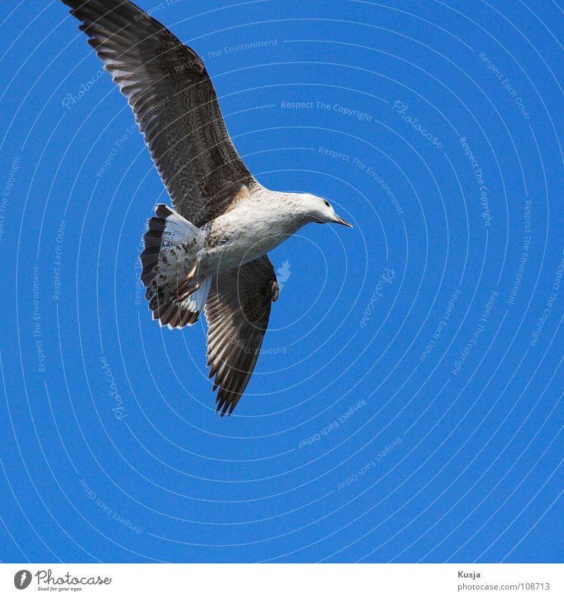 Der Parierkönig blau weiß braun Vogel fliegen laufen Flügel fahren Feder Jagd Segeln Möwe Schweben Kurve wehen Schwanz