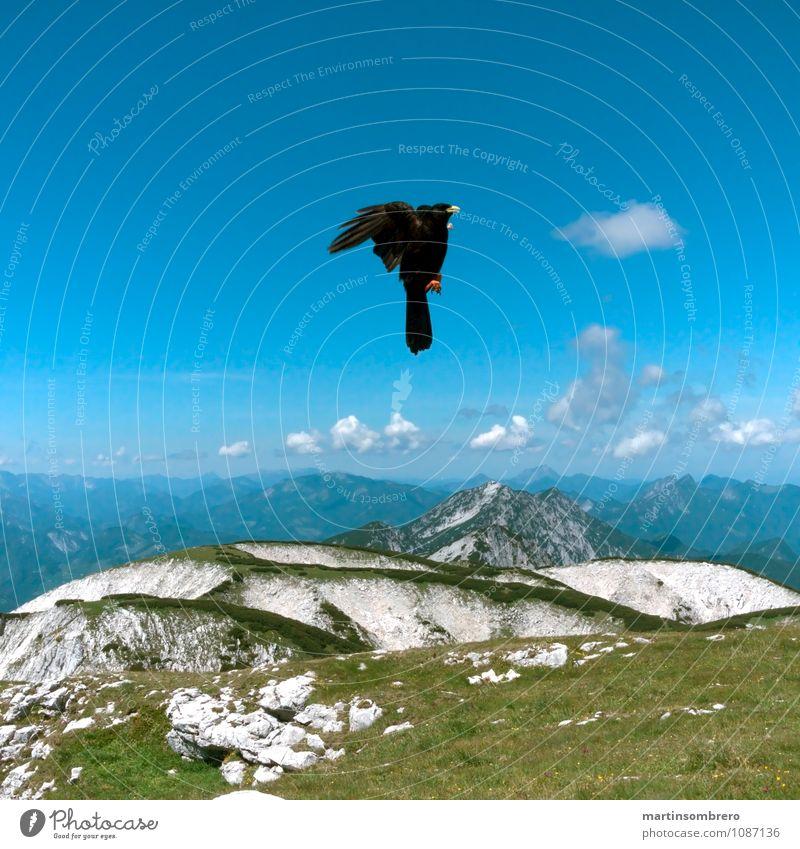 Flugakrobaten 2 Umwelt Landschaft Himmel Schönes Wetter Gras Berge u. Gebirge Gipfel Tier Vogel 1 hell blau grün Freiheit Farbfoto Außenaufnahme