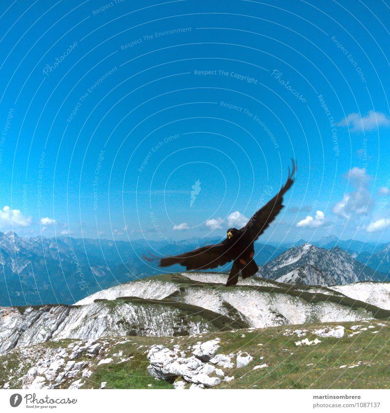 Flugakrobaten 3 Umwelt Natur Landschaft Sommer Gras Berge u. Gebirge Tier Vogel 1 authentisch Unendlichkeit hoch blau ruhig Freiheit Farbfoto Außenaufnahme
