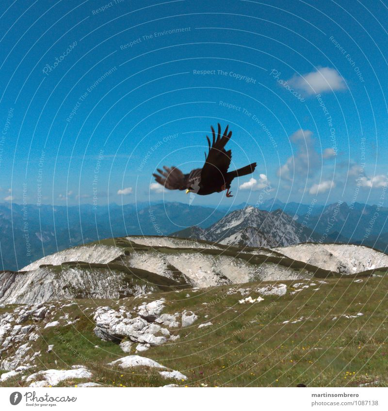 Luftakrobaten Landschaft Himmel Frühling Schönes Wetter Gras Berge u. Gebirge Wildtier Vogel 1 Tier Erholung Blick hell blau Freizeit & Hobby Farbfoto