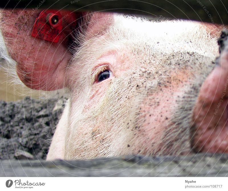 Versauter Blick Schweinschnauze Grunzen Sau Ferkel Rüssel Schlamm rosa Tier Säugetier dreckig
